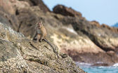Monkey on the rocks — Стоковое фото