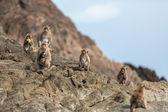 Monkey on the rocks — Stock Photo