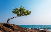 árbol solitario en una roca — Foto de Stock