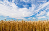 Wheat ears against the sky — Stock Photo