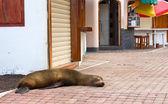 Seal sleeps on the sidewalk — Stock Photo