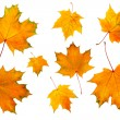 Stock Photo: Maple leaves isolated on white