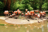 Flamingos sitting on nests — Stock Photo
