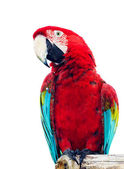 Vivid red parrot — Stock Photo
