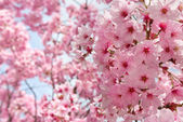 Peach Blossom — Stockfoto