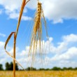 Mature wheat ear against the sky — Stock Photo