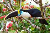 大嘴鸟 — 图库照片
