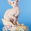 Young canadian sphinx cat — Stock Photo