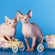 Young canadian sphinx cat — Stock Photo #30159487