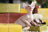 Gato sphynx canadiense — Foto de Stock