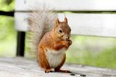 Red squirrel, Sciurus vulgaris — Stock Photo