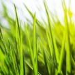 Fresh green grass in sunshine — Stock Photo