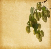 Hops branch on old paper background — Stock Photo