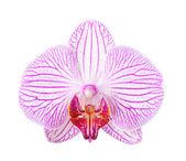 Primo piano di un bellissimo fiore orchidea rosa su sfondo bianco — Foto Stock