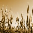 Field of wheat — Stock Photo #41305957