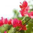 Bush of Bougainvillea flowers — Stock Photo #41306765