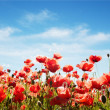 Red poppies — Stock Photo #41306779