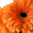 Gerbera — Stock Photo #41307409