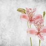 Alstroemeria — Stock Photo