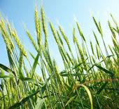 领域的绿色小麦 — 图库照片