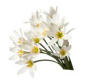 Lilies — Zdjęcie stockowe