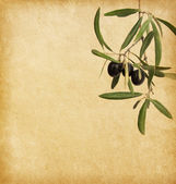 Old paper  with black olives branches — Stockfoto
