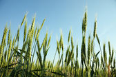 Field of green wheat — Stock Photo