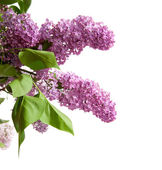 Fialová lila — Stock fotografie