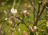 Fleur du pommier — Photo