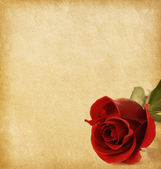 Old paper texture with red rose — Stock fotografie