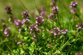 Thyme in the garden — Foto Stock