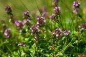 Thyme in the garden — Stockfoto