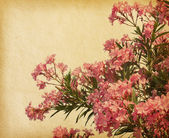Pink flowers of oleander — Stock Photo