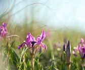 Spring flowers.  iris — Stockfoto
