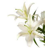 White lilies — Stock Photo