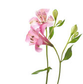 Alstroemeria flowers — Stock Photo