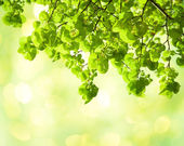 Fresh leaves of Tilia in a garden. — Stock Photo