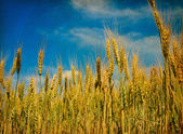 Field of wheat. — Stock Photo