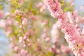 Branch with beautiful pink flowers — Stock Photo