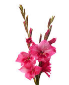 Rosa gladiolus — Stockfoto