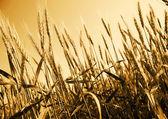 Field of  gold  wheat — Stock Photo