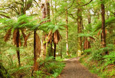 Temperate rain forest with Fern trees — Stock Photo