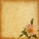 Old paper textures with rose — Stock Photo
