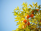Ripe oranges on a tree branch — Stock Photo