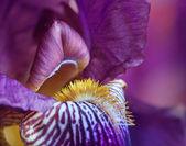 Macro shot of a purple iris. — Stock Photo