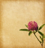 Old paper with Clover flower. — Stock Photo