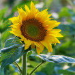 Ripening sunflower — Stock Photo