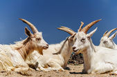 A herd of domestic goats — Stock Photo
