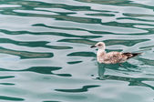 Seagull floating on the surface of the sea — Stock Photo