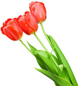 Beautiful bouquet of red tulips — Foto Stock
